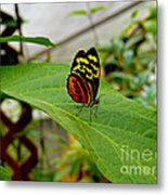Mindo Butterfly Poses Metal Print
