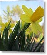 Mini Daffodils Metal Print