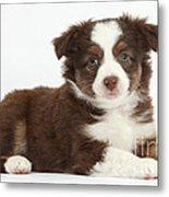 Miniature American Shepherd Puppies Metal Print