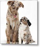 Miniature American Shepherd With Puppy Metal Print