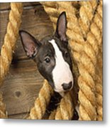 Miniature Bull Terrier Puppy Metal Print