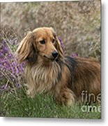 Miniature Long-haired Dachshund Metal Print