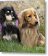 Miniature Long-haired Dachshunds Metal Print