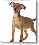 Miniature Pinscher Puppy Metal Print