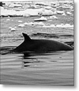 Minke Whale With Marked Notched Dorsal Fin And Yellow Diatom Marking With Tourist Zodiac Boats In Th Metal Print by Joe Fox