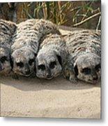 Mischievous Meerkats Metal Print