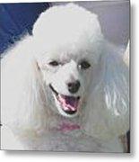 Missy White Poodle Metal Print