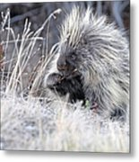 Mister Porcupine - Denali Alaska Metal Print