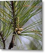 Misty Pines In Spring 2013 Metal Print
