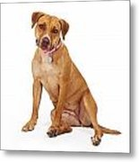 Mixed Breed Female Large Dog Metal Print
