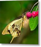 Mocker Swallowtail Butterfly And Berries Metal Print