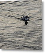 Moire Silk Water And A Long Tailed Duck Metal Print