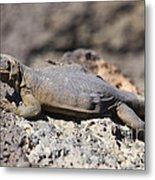 Mojave Desert Chuckwalla Metal Print