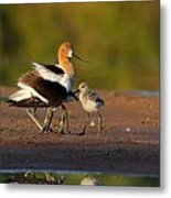 Mom And Baby Avocet Metal Print