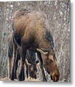 Mom And Young Moose Metal Print