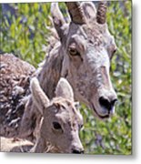 Momma And Baby Ram Metal Print