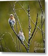 Momma Bluebird And Baby Metal Print