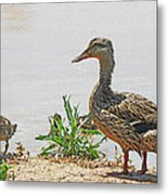 Momma Duck And Baby With A Different View Metal Print