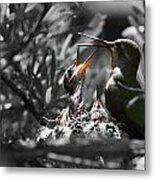 Momma Hummingbird Feeding Babies Metal Print by Old Pueblo Photography