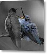 Momma Hummingbird Feeding Baby Metal Print by Old Pueblo Photography