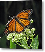Monarch Butterfly 60 Metal Print