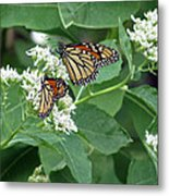 Monarch Butterfly 67 Metal Print