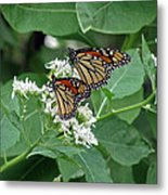 Monarch Butterfly 70 Metal Print