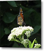 Monarch Butterfly 71 Metal Print