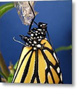 Monarch Butterfly Emerging From Chrysalis Metal Print