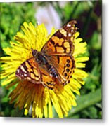 Monarch Butterfly Feeding On A Yellow Dandelion Flower Metal Print