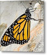 Monarch Butterfly Just Emerged From Her Chrysalis Metal Print
