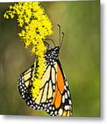 Monarch Butterfly On Goldenrod Metal Print