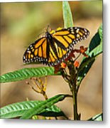 Monarch Butterfly On Plant With Eggs Metal Print