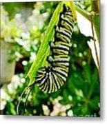 Monarch Caterpillar 5 Metal Print