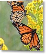 Monarch Gathering Metal Print