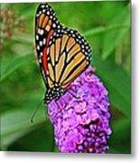 Monarch On A Butterfly Bush Metal Print