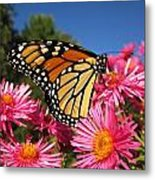 Monarch On Pink Asters Metal Print