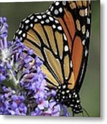 Monarch On Butterfly Bush-edition  3 Of 40 Metal Print