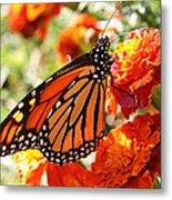 Monarch On Marigold Metal Print