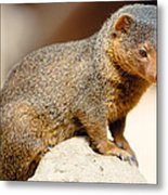 Mongoose Metal Print