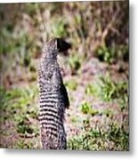 Mongoose Standing. Safari In Serengeti Metal Print