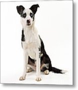 Mongrel Dog, Border Collie Cross Metal Print