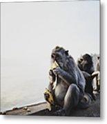Monkeys Eating Bananas Metal Print