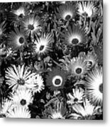 Monochrome Asters Metal Print