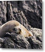 Montague Island Seal Metal Print