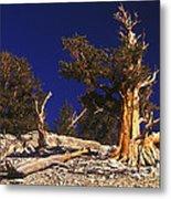Moon And Bristlecone Pines Metal Print