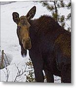 Moose   #1612 Metal Print