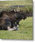 Moose At Rest Metal Print