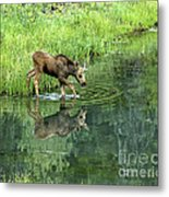Moose Calf Testing The Water Metal Print