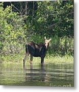 New Hampshire Grazing Cow Moose  Metal Print